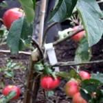 apples ready for harvesting